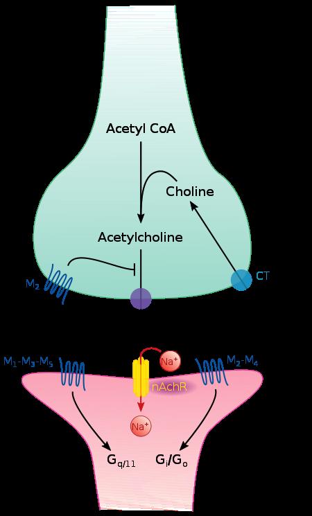 450px-Cholinergic_synapse.svg